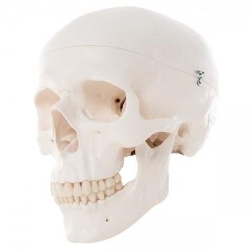 Crâne humain classic - 3 parties