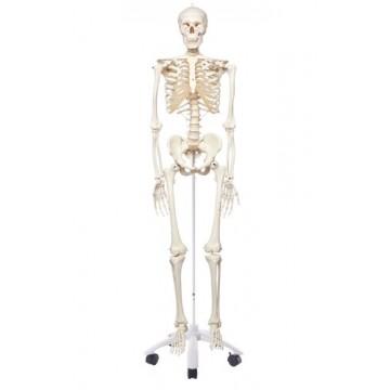 Squelette standard STAN