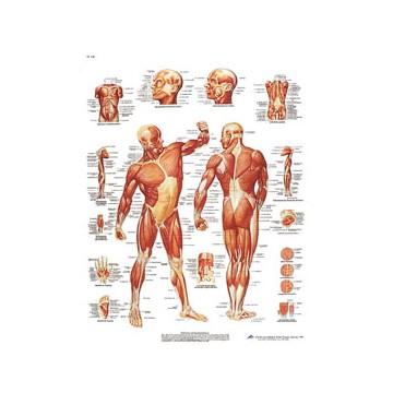 """Planche anatomique """" La musculature"""""""