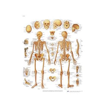 """Planche anatomique """"le squelette humain"""""""